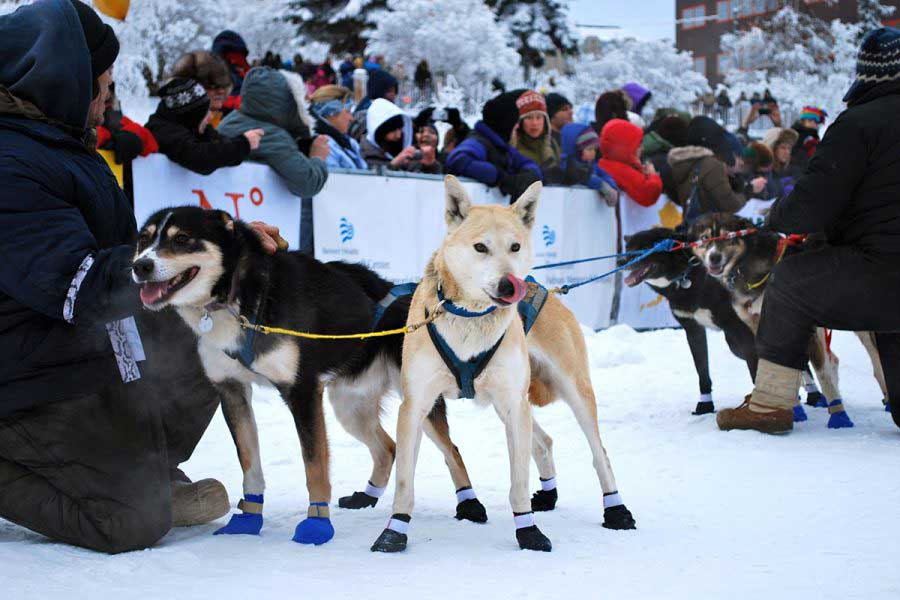 Yukon Quest Mushers and Dogs Arrive at Dawson City Checkpoint